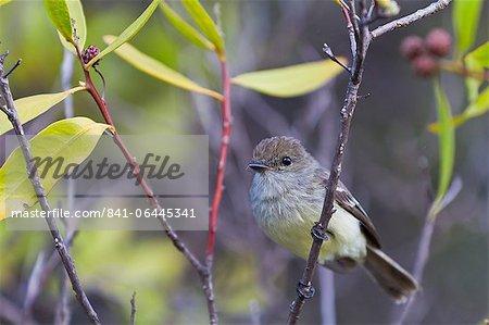 Adult warbler finch (Certhidea olivacea), Santiago Island, Galapagos Islands, UNESCO World Heritge Site, Ecuador, South America