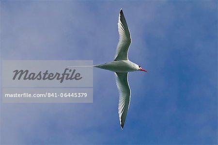 Red-billed tropicbird (Phaethon aethereus), Punta Pitt, San Cristobal Island, Galapagos Islands, UNESCO World Heritage Site, Ecuador, South America