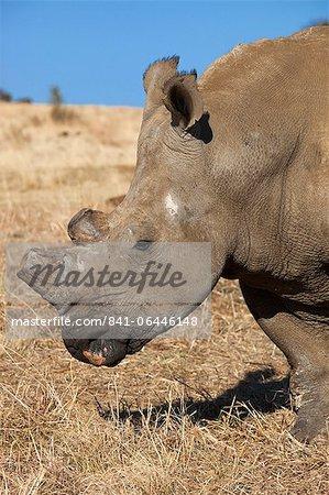 Dehorned white rhino (Ceratotherium simum) on rhino farm, Klerksdorp, North West Province, South Africa, Africa