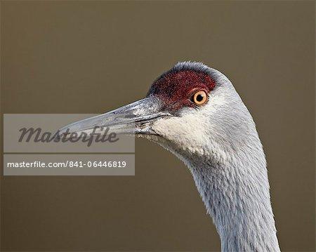 Sandhill crane (Grus canadensis), Yellowstone National Park, Wyoming, United States of America, North America