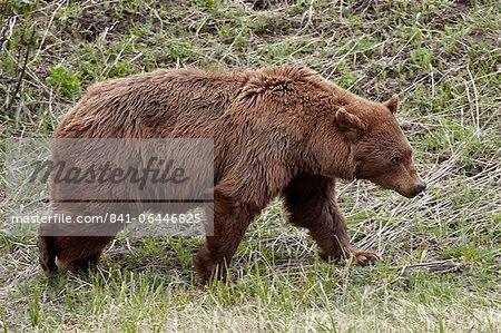 Cinnamon-colored black bear (Ursus americanus) walking, Yellowstone National Park, Wyoming, United States of America, North America