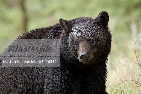 Black bear (Ursus americanus), Yellowstone National Park, Wyoming, United States of America, North America