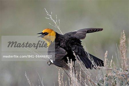 Male yellow-headed blackbird (Xanthocephalus xanthocephalus) dislaying, Yellowstone National Park, Wyoming, United States of America, North America