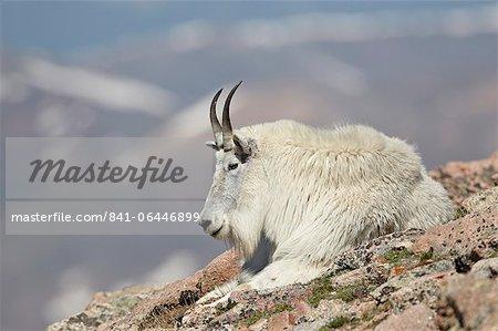Mountain goat (Oreamnos americanus) nanny resting, Mount Evans, Arapaho-Roosevelt National Forest, Colorado, United States of America, North America