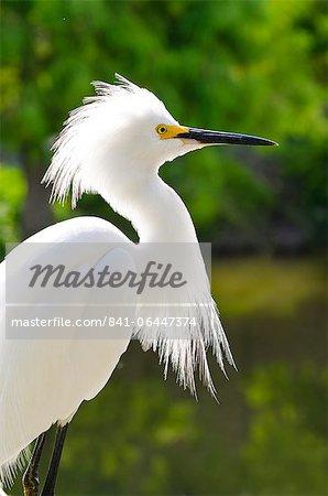 Snowy egret (Egretta thula), Everglades, Florida, United States of America, North America