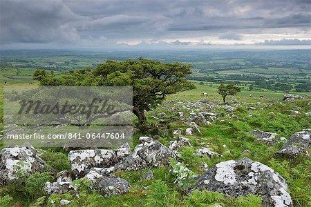 Hawthorn trees on Cox Tor in summer, Dartmoor, Devon, England, United Kingdom, Europe
