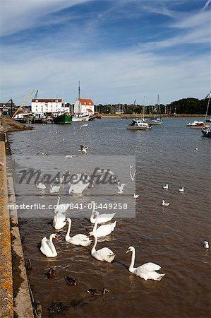 Swans and ducks on the River Deben at Woodbridge Riverside, Woodbridge, Suffolk, England, United Kingdom, Europe