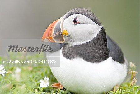 Atlantic Puffin (Fratercula arctica), Lunga, Inner Hebrides, Scotland, United Kingdom, Europe