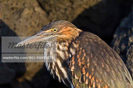 Lava heron (striated heron) (Butorides striata), Puerto Egas, Santiago Island, Galapagos, Ecuador, South America