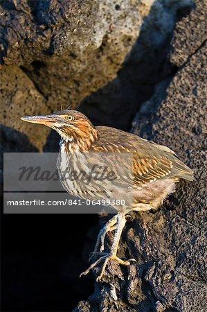 Lava heron (striated heron) (Butorides striata), Puerto Egas, Santiago Island, Galapagos, Ecuador, South America.