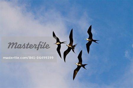 Magnificent frigatebirds (Fregata magnificens), Punta Pitt, San Cristobal Island, Galapagos Islands, Ecuador, South America