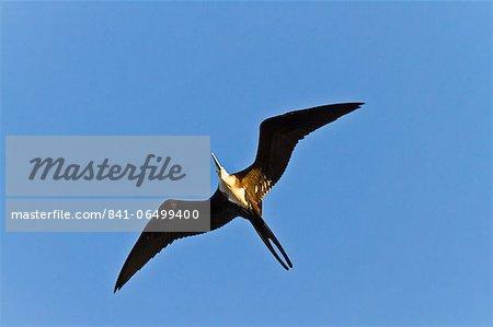 Magnificent frigatebird (Fregata magnificens), Punta Pitt, San Cristobal Island, Galapagos Islands, Ecuador, South America