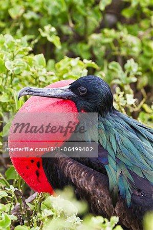 Adult male great frigatebird (Fregata minor), Genovesa Island, Galapagos Islands, UNESCO World Heritage Site, Ecuador, South America