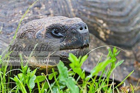 Wild Galapagos tortoise (Geochelone elephantopus), Santa Cruz Island, Galapagos Islands, UNESCO World Heritage Site, Ecuador, South America