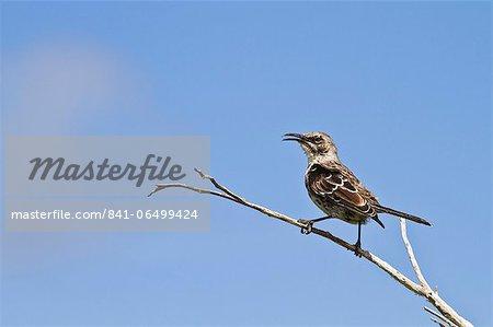 Adult Espanola mockingbird (Hood mockingbird) (Mimus macdonaldi), Espanola Island, Galapagos Islands, Ecuador, South America