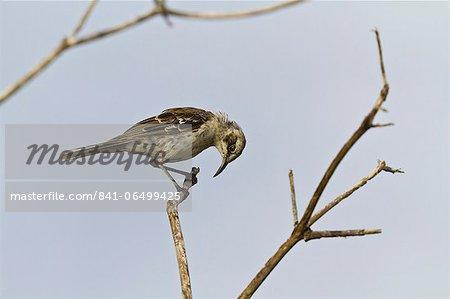 Adult San Cristobal mockingbird (Chatham mockingbird) (Mimus melanotis), Cerro Bruja, San Cristobal Island, Galapagos Islands, Ecuador, South America