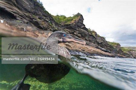 Flightless cormorant (Nannopterum harrisi), Tagus Cove, Isabela Island, Galapagos Islands,UNESCO World Heritage Site, Ecuador, South America