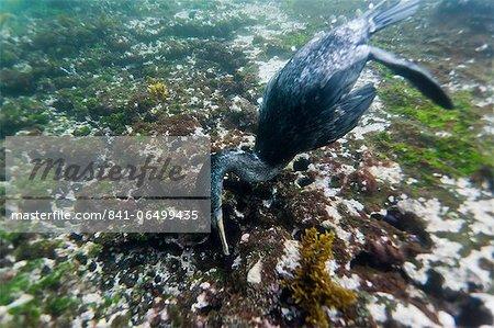 Flightless cormorant (Nannopterum harrisi) hunting underwater, Tagus Cove, Isabela Island, Galapagos Islands, Ecuador, South America