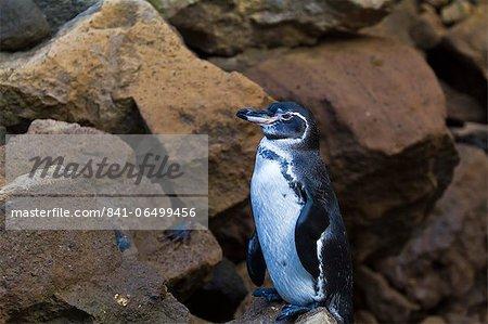 Adult Galapagos penguin (Spheniscus mendiculus), Bartolome Island, Galapagos Islands, Ecuador, South America