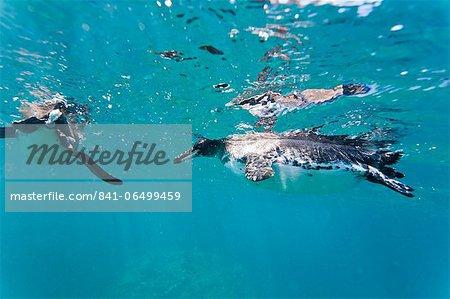 Adult Galapagos penguin (Spheniscus mendiculus) underwater, Bartolome Island, Galapagos Islands, Ecuador, South America