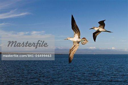 Blue-footed booby (Sula nebouxii), North Seymour Island, Galapagos Islands, Ecuador, South America