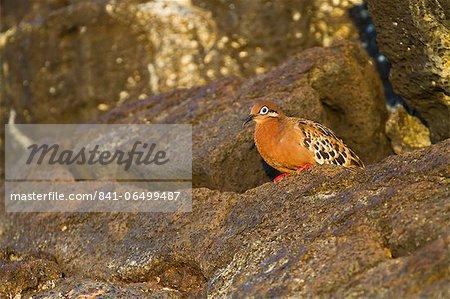 Galapagos dove (Zenaida galapagoensis), Puerto Egas, Santiago Island, Galapagos Islands, Ecuador, South America