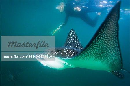 Spotted eagle ray (Aetobatus narinari) underwater, Leon Dormido Island, San Cristobal Island, Galapagos Islands, Ecuador, South America