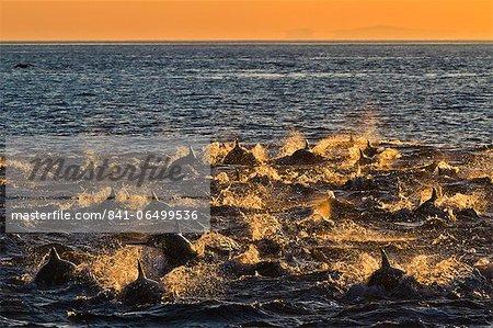 Long-beaked common dolphins (Delphinus capensis) at sunrise, Isla San Esteban, Gulf of California (Sea of Cortez), Baja California, Mexico, North America