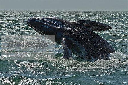 California gray whale (Eschrichtius robustus) calf breaching, San Ignacio Lagoon, Baja California Sur, Mexico, North America