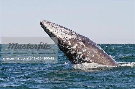 Adult California gray whale (Eschrichtius robustus) breaching, San Ignacio Lagoon, Baja California Sur, Mexico, North America