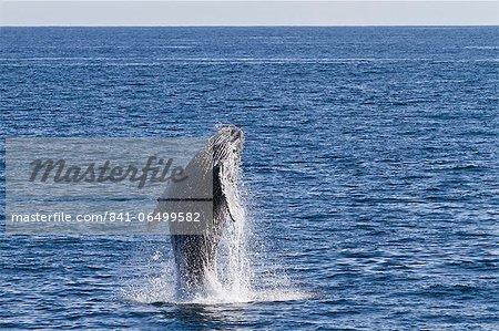 Humpback whale (Megaptera novaeangliae) calf breach, Gulf of California (Sea of Cortez), Baja California Sur, Mexico, North America