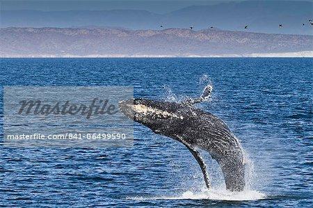 Humpback whale (Megaptera novaeangliae) breach, Gulf of California (Sea of Cortez), Baja California Sur, Mexico, North America