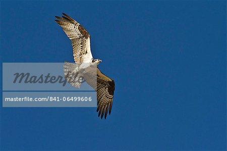 Adult osprey (Pandion haliaetus) with fish, Gulf of California (Sea of Cortez) Baja California Sur, Mexico, North America