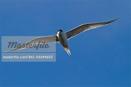 Elegant tern (Thalasseus elegans) in flight, Isla Rasa, Gulf of California (Sea of Cortez), Baja California, Mexico, North America