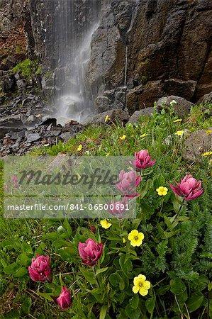 Rosy paintbrush (Castilleja rhexifolia) and Alpine avens (Acomastylis rossii turbinata), San Juan National Forest, Colorado, United States of America, North America