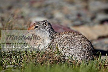 Columbian ground squirrel (Citellus columbianus) feeding, Glacier National Park, Montana, United States of America, North America