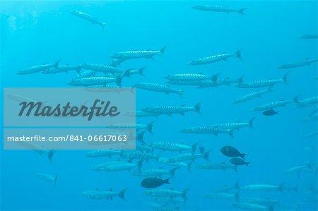 Pickhandle Barracuda, Southern Thailand, Andaman Sea, Indian Ocean, Asia