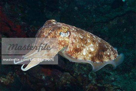 Broadclub cuttlefish (Sepia Latimanus), Southern Thailand, Andaman Sea, Indian Ocean, Southeast Asia, Asia