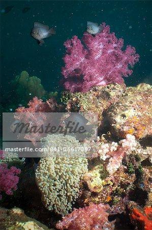 Dark damsel (Pomacentrus albicaudatus), SouthernThailand, Andaman Sea, Indian Ocean, Southeast Asia, Asia
