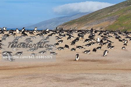 Gentoo penguin (Pygoscelis papua) rookery, Saunders Island, Falkland Islands, South America