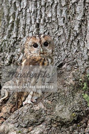 Tawny owl (Strix aluco), captive, camouflaged on tree, United Kingdom, Europe