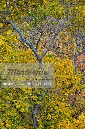Box Elder Boxelder Maple Maple Ash Acer Negundo With Yellow