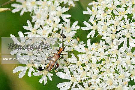 Male thick-legged flower beetle (Oedemera nobilis) foraging on common hogweed (Heracleum sphondylium) flowers, Wiltshire, England, United Kingdom, Europe