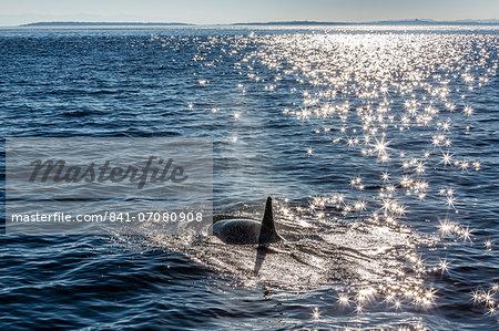 Resident killer whale, Orcinus orca, Cattle Pass, San Juan Island, Washington, United States of America, North America