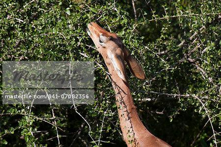 Gerenuk (Litocranius walleri), Samburu National Reserve, Kenya, East Africa, Africa
