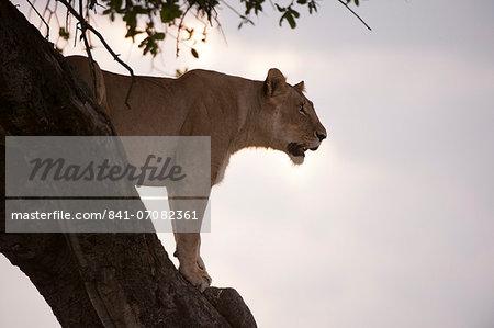 Lion (Panthera leo) on acacia tree, Masai Mara National Reserve, Kenya, East Africa, Africa