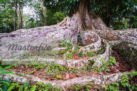 Twisted roots of an old tree at Kandy Royal Botanical Gardens, Peradeniya, Kandy, Sri Lanka, Asia