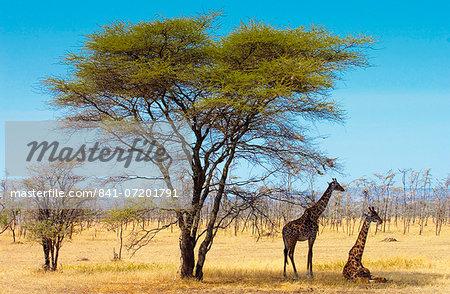 Adult giraffes, Serengeti, Tanzania