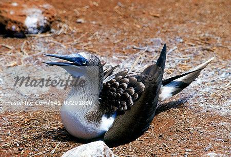 Blue-footed Booby bird protecting her eggs on Galapagos Islands, Ecuador