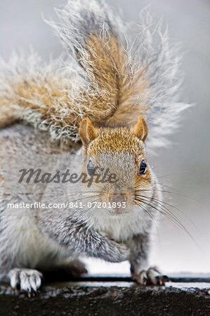 Grey squirrel on edge of rubbish bin in Hampstead Heath, North London, United Kingdom